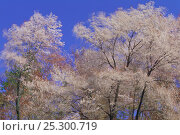 Купить «Wild Cherry tree (Prunus / Cerasus jamasakura) blowing in the wind, Kochi, Japan, April», фото № 25300719, снято 24 сентября 2018 г. (c) Nature Picture Library / Фотобанк Лори