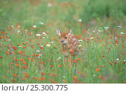 White-tailed Deer (Odocoileus virginianus) fawn in long grass, Minnesota, USA, Стоковое фото, фотограф Nature Production / Nature Picture Library / Фотобанк Лори