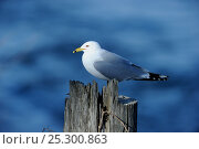 Купить «Ring-billed Gull (Larus delawarensis) perching on post. Quebec, Canada, January.», фото № 25300863, снято 18 июня 2019 г. (c) Nature Picture Library / Фотобанк Лори