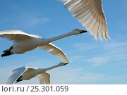 Купить «Hand reared Whooper Swan (Cygnus cygnus) in flight against blue sky. Birds imprinted and trained by Lloyd and Rose Buck for filming purposes. Somerset, UK, January 2011», фото № 25301059, снято 25 марта 2019 г. (c) Nature Picture Library / Фотобанк Лори
