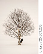 Купить «Common raven (Corvus corax)  perched in snow beside birch tree, Finland, March», фото № 25301235, снято 26 марта 2019 г. (c) Nature Picture Library / Фотобанк Лори