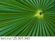 Купить «Palm Frond detail. Mahahual Penninsula, South Yucatan Peninsula, Mexico.», фото № 25301343, снято 19 августа 2018 г. (c) Nature Picture Library / Фотобанк Лори