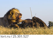 Купить «African lion (Panthera leo) male feeding on dead Wildebeest, Okavango Delta, Botswana, September», фото № 25301527, снято 16 июня 2019 г. (c) Nature Picture Library / Фотобанк Лори