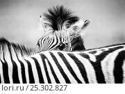Купить «Zebra (Equus quagga) foal peering over its mother's striped back. Monochrome. Etosha National Park, Namibia, January.», фото № 25302827, снято 19 сентября 2018 г. (c) Nature Picture Library / Фотобанк Лори