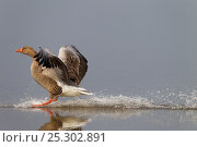 Купить «Greylag Goose (Anser anser) landing on water. Norfolk, UK, Europe, April.», фото № 25302891, снято 25 марта 2019 г. (c) Nature Picture Library / Фотобанк Лори