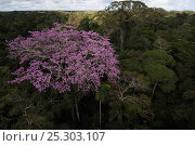 Купить «Rainforest canopy with blossoming tree. Yasuni National Park, Amazon rain forest, Ecuador, June 2007.», фото № 25303107, снято 20 мая 2019 г. (c) Nature Picture Library / Фотобанк Лори