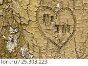 Купить «Heart shape and initials engraved into the bark of tree, Beacon Hill Country Park, The National Forest, Leicestershire, UK. November. 2020VISION Book Plate.», фото № 25303223, снято 17 июля 2018 г. (c) Nature Picture Library / Фотобанк Лори