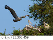 Купить «Spot-billed Pelican or Grey Pelican (Pelecanus philippensis) flying with nesting material to nest. Karnataka, India.», фото № 25303459, снято 26 марта 2019 г. (c) Nature Picture Library / Фотобанк Лори
