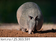 Nine-banded Armadillo (Dasypus novemcinctus) foraging at night. Starr County, Texas, USA, April. Стоковое фото, фотограф David Welling / Nature Picture Library / Фотобанк Лори