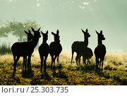 Купить «Red Deer (Cervus elaphus) hinds silhouetted in grassland. Richmond Park, London, UK, October.», фото № 25303735, снято 20 марта 2019 г. (c) Nature Picture Library / Фотобанк Лори