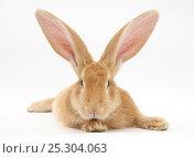 Купить «Flemish giant rabbit with ears erect.», фото № 25304063, снято 15 февраля 2019 г. (c) Nature Picture Library / Фотобанк Лори