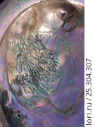 Купить «Close-up view of Red Abalone (Haliotis rufescens) shell. California, USA, February.», фото № 25304307, снято 24 мая 2018 г. (c) Nature Picture Library / Фотобанк Лори