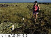 Купить «Tuula Rahikka looking at a Waved / Galapagos Albatross (Diomedea / Phoebastria irrorata) resting in vegetation. Punta Suarez, Espaniola, Galapagos, Ecuador, April.», фото № 25304615, снято 23 января 2019 г. (c) Nature Picture Library / Фотобанк Лори