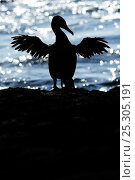 Купить «Galapagos / Flightless Cormorant (Phalacrocorax / Nannopterum harrisi) spreading its wings to dry, silhouetted against the sea. Fernandina Island, Punta Espinosa, Galapagos, Ecuador, April.», фото № 25305191, снято 22 апреля 2019 г. (c) Nature Picture Library / Фотобанк Лори