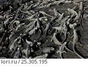 Купить «Large group of Marine Iguana (Amblyrhynchus cristatus) basking on volcanic rock. Fernandina Island, Punta Espinosa, Galapagos, Ecuador, April.», фото № 25305195, снято 16 февраля 2019 г. (c) Nature Picture Library / Фотобанк Лори