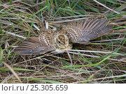 Купить «Skylark (Alauda arvensis) fledgling defence display on ground, UK. August», фото № 25305659, снято 21 октября 2018 г. (c) Nature Picture Library / Фотобанк Лори