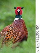 Купить «Pheasant (Phasianus colchicus) male, portrait, Norfolk, UK», фото № 25305851, снято 20 августа 2019 г. (c) Nature Picture Library / Фотобанк Лори