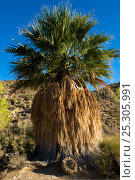 Купить «California Fan Palm (Washingtonia filifera) Cottonwood Spring, Joshua's Tree National Monument, California, USA, September.», фото № 25305991, снято 20 января 2019 г. (c) Nature Picture Library / Фотобанк Лори