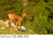 Chamois (Rupicapra rupicapra). Cad' Pedraforca Nature Reserve, Barcelona province, Catalonia, Spain, July. Стоковое фото, фотограф Inaki Relanzon / Nature Picture Library / Фотобанк Лори