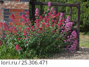 Купить «Red valerian (Centrantbus ruber) flowering beside church wall, Norfolk, UK, June», фото № 25306471, снято 18 октября 2019 г. (c) Nature Picture Library / Фотобанк Лори
