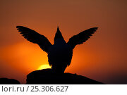 Купить «Silhouette of Razorbill (Alca torda) against sunset, flapping wings. June 2010.», фото № 25306627, снято 20 августа 2018 г. (c) Nature Picture Library / Фотобанк Лори