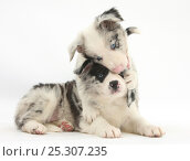 Купить «Merle Border Collie puppies playing.», фото № 25307235, снято 19 июля 2018 г. (c) Nature Picture Library / Фотобанк Лори