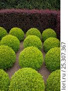 Купить «Topairy box trees and yew hedge, Norfolk, UK», фото № 25307367, снято 21 октября 2018 г. (c) Nature Picture Library / Фотобанк Лори