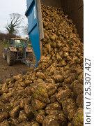Купить «Sugar beet (Beta vulagaris) crop, unloading beets from trailer, Norfolk, UK, January 2009», фото № 25307427, снято 23 февраля 2018 г. (c) Nature Picture Library / Фотобанк Лори