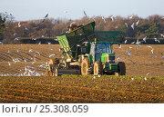Купить «Harvesting Sugar Beet (Beta vulgaris)  Norfolk, UK, January 2007», фото № 25308059, снято 23 февраля 2018 г. (c) Nature Picture Library / Фотобанк Лори