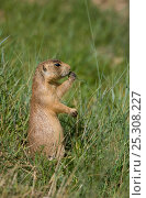 Utah Prairie Dog (Cynomys parvidens) standing in grass. Bryce Canyon National Park, Utah, USA, August. Стоковое фото, фотограф David Welling / Nature Picture Library / Фотобанк Лори