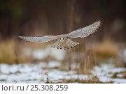 Купить «Common Kestrel (Falco tinnunculus) female in flight. Germany, January.», фото № 25308259, снято 22 марта 2019 г. (c) Nature Picture Library / Фотобанк Лори