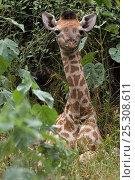 Купить «Young Giraffe (Giraffa camelopardalis) resting in undergrowth, Okavango delta, Botswana, April», фото № 25308611, снято 16 января 2019 г. (c) Nature Picture Library / Фотобанк Лори