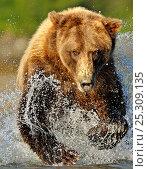 Купить «Grizzly Bear (Ursus arctos horribilis) running through water after salmon. Katmai, Alaska, USA, August.», фото № 25309135, снято 20 августа 2019 г. (c) Nature Picture Library / Фотобанк Лори