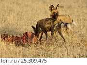 African wild dogs (Lycaon pictus) at carcass, one feeding one on lookout, Okavango delta, Botswana, July. Стоковое фото, фотограф Sergey Gorshkov / Nature Picture Library / Фотобанк Лори