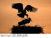 Купить «Breeding pair of White Stork (Ciconia ciconia) mating on nest. The Netherlands, April.», фото № 25309635, снято 20 мая 2019 г. (c) Nature Picture Library / Фотобанк Лори