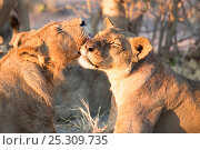 Купить «A young male African lion (Panthera leo) grooms a lioness, Savuti, Botswana.  Taken on location for BBC Planet Earth series 2005», фото № 25309735, снято 19 июля 2018 г. (c) Nature Picture Library / Фотобанк Лори