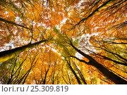 Купить «Looking up at Beech wood canopy (Fagus sylvatica) in autumn, Peak District National Park, Derbyshire, UK, November», фото № 25309819, снято 17 февраля 2020 г. (c) Nature Picture Library / Фотобанк Лори