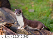 Купить «Stoat (Mustela erminea) on logs. The Netherlands, July.», фото № 25310343, снято 20 сентября 2019 г. (c) Nature Picture Library / Фотобанк Лори