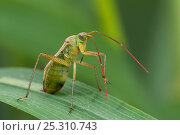 Купить «Common Green Capsid Bug (Lygocoris pabulinus) on grass stem preening antennae, Captive, UK, July.», фото № 25310743, снято 22 июля 2018 г. (c) Nature Picture Library / Фотобанк Лори
