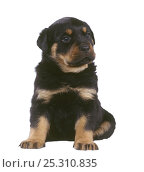 Domestic dog, Rottweiler, puppy. Стоковое фото, фотограф Yves Lanceau / Nature Picture Library / Фотобанк Лори
