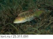 Купить «Two spot maori wrasse (Oxycheilinus bimaculatus). Lembeh Strait, North Sulawesi, Indonesia.», фото № 25311091, снято 5 июля 2020 г. (c) Nature Picture Library / Фотобанк Лори