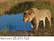 Купить «African lion (Panthera leo) male walking beside water, Okavango delta, Botswana, July», фото № 25311123, снято 29 марта 2020 г. (c) Nature Picture Library / Фотобанк Лори