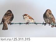 Купить «Male house sparrow (Passer domesticus) on barbed wire fence, next to starlings (Sturnus vulgaris). Nr Bradworthy, Devon, UK, December», фото № 25311315, снято 22 мая 2019 г. (c) Nature Picture Library / Фотобанк Лори