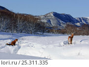 Купить «Red fox (Vulpes vulpes) two foxes in area where deep snow has been tramped down for resting on, Kamchatka, Far east Russia, November», фото № 25311335, снято 27 мая 2019 г. (c) Nature Picture Library / Фотобанк Лори