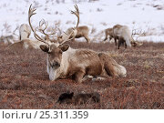Caribou /Reindeer (Rangifer tarandus) resting with calf, Kamchatka, Far east Russia, January. Стоковое фото, фотограф Sergey Gorshkov / Nature Picture Library / Фотобанк Лори