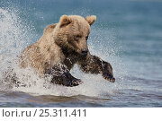 Купить «Kamchatka Brown bear (Ursus arctos beringianus)  leaping, fishing for salmon in river, Kamchatka, Far east Russia, July», фото № 25311411, снято 21 марта 2019 г. (c) Nature Picture Library / Фотобанк Лори