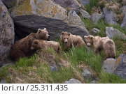 Купить «Kamchatka brown bear (Ursus arctos beringianus) mother bear and three cubs outside den in rocks, Kamchatka, Far east Russia, June», фото № 25311435, снято 16 июня 2019 г. (c) Nature Picture Library / Фотобанк Лори