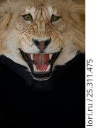 Купить «Stuffed Head of a Lion with its skin rug», фото № 25311475, снято 17 февраля 2020 г. (c) Nature Picture Library / Фотобанк Лори