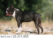 Domestic dog, Boston Terrier / Boston Bull, outdoors. Стоковое фото, фотограф Yves Lanceau / Nature Picture Library / Фотобанк Лори