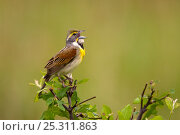Купить «Dickcissel (Spiza americana), male singing in spring, Wichita Mountains National Wildlife Refuge, Oklahoma, USA, May», фото № 25311863, снято 14 августа 2018 г. (c) Nature Picture Library / Фотобанк Лори